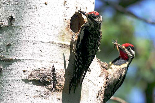 Yellow-bellied Sapsucker, Christian Artuso