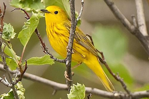 Yellow Warbler, Ian Routley