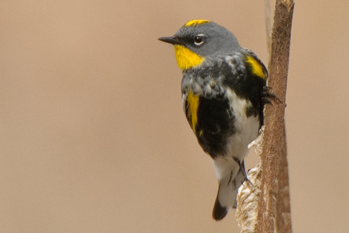 Yellow-rumped Warbler, Ian Routley