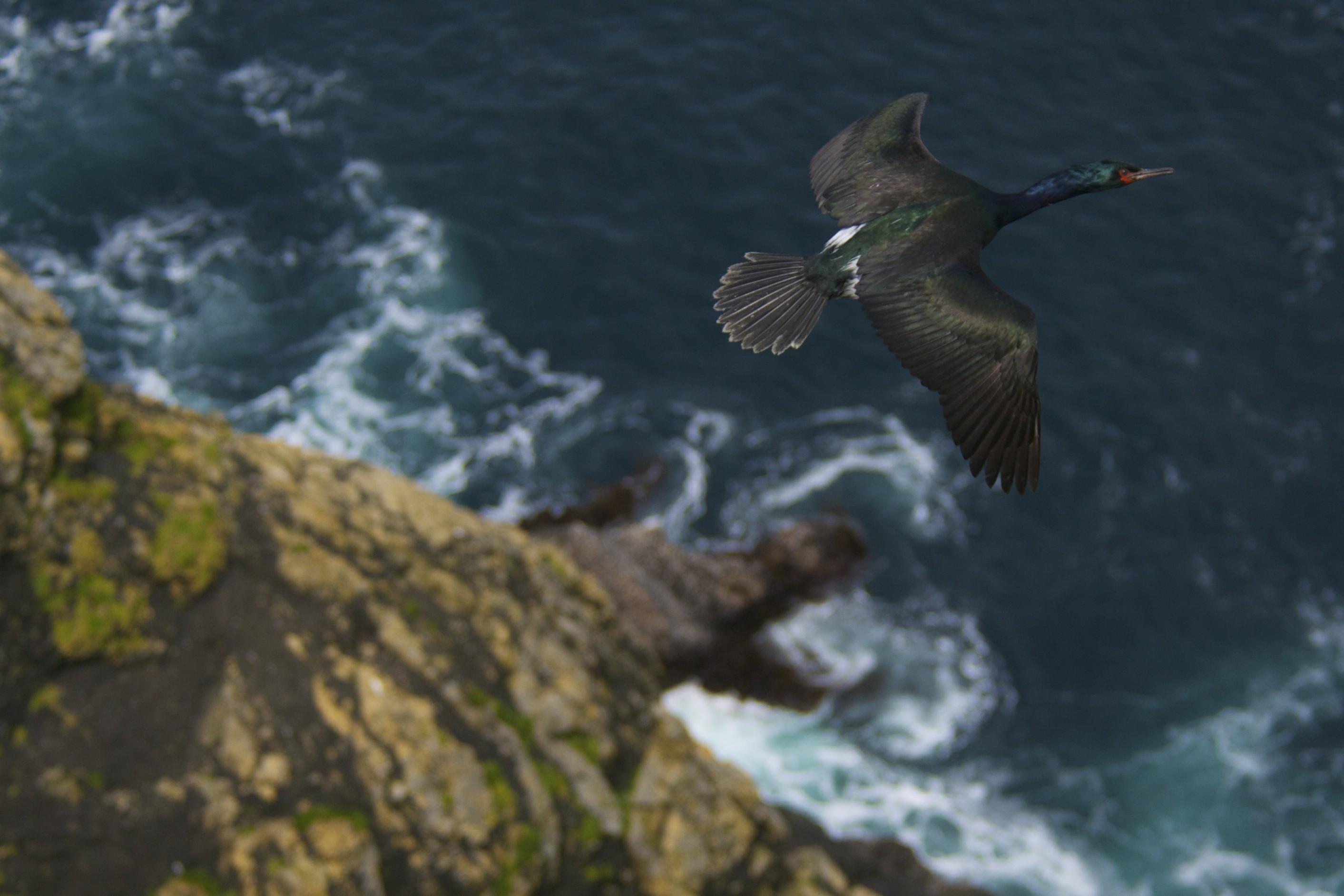 Cormoran pélagique: Catherine Jardine